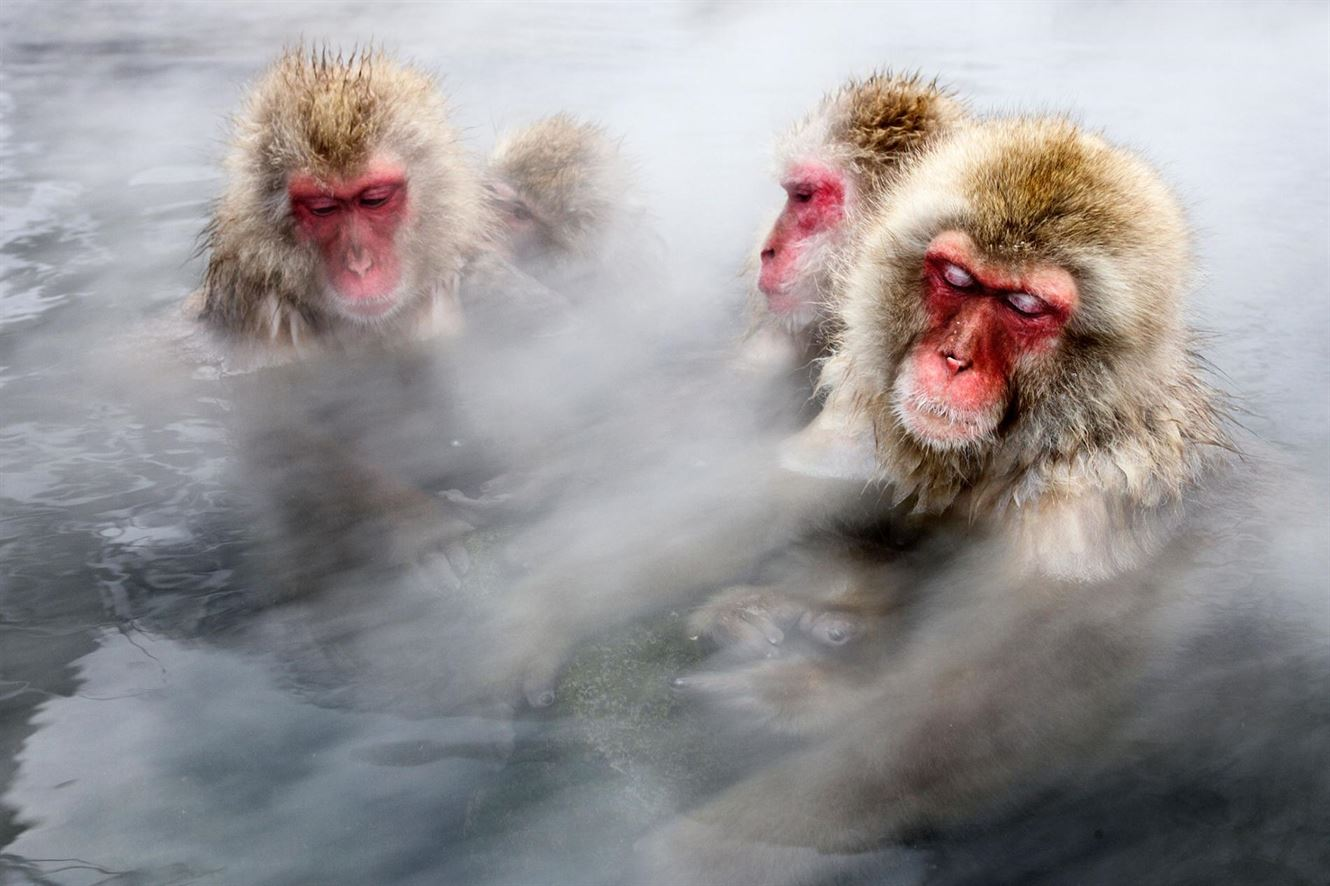 Nature: Famous Japanese Snow Monkeys Take Baths to Lower Stress